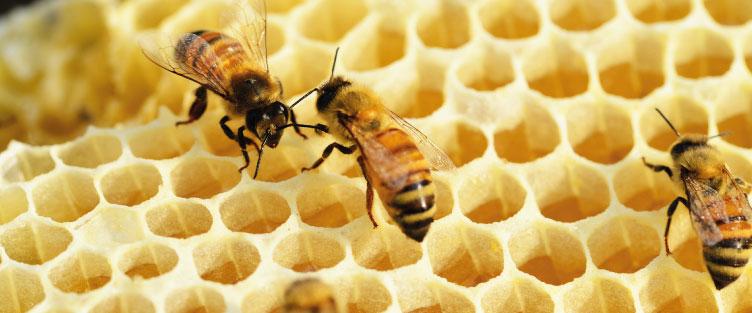 Les tâches des abeilles pendant leur vie