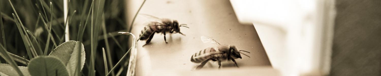 Découverte des abeilles