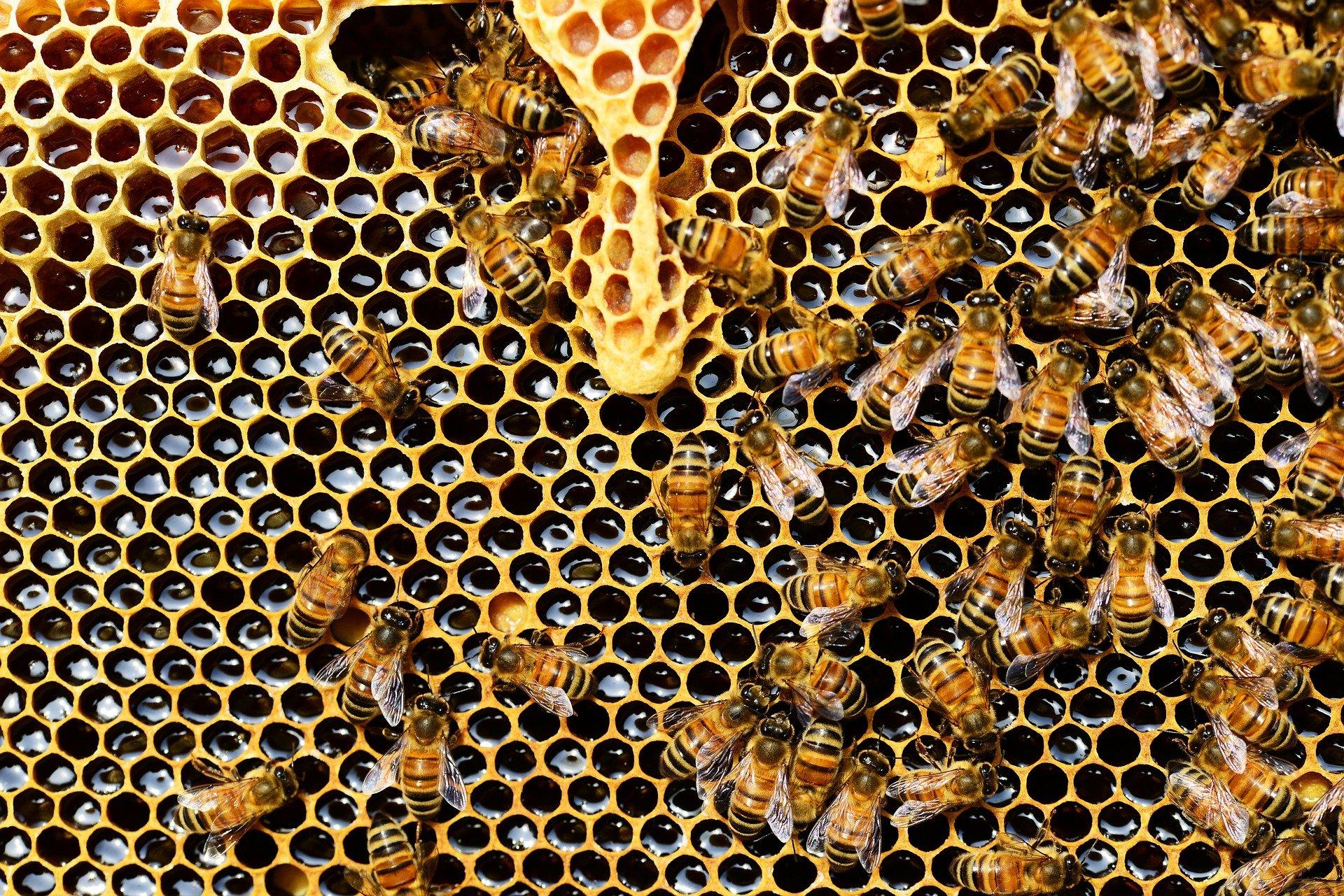 découverte des abeilles : la reine et les abeilles ouvrières